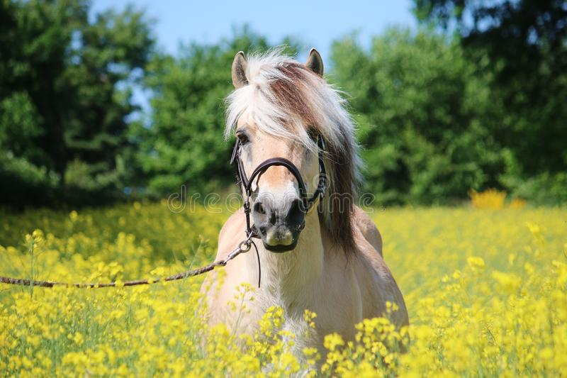 Fjord horse portrait in a seed field stock image