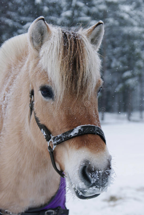 Fjord horse portrait in winter royalty free stock images