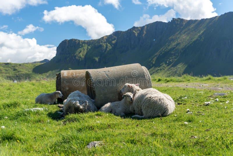 Fjorde Norwegens Lofoten - Schafe hided im Schatten am hor Sommertag stockbild