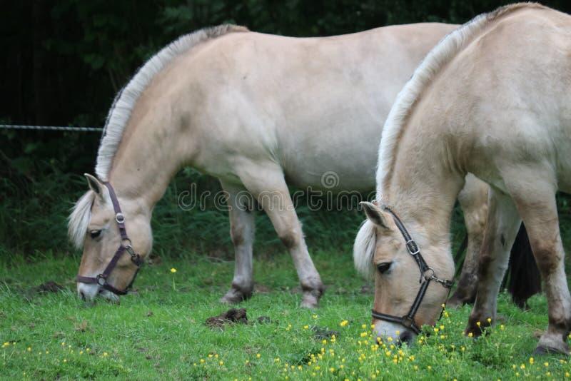Fjordenhorses photographie stock