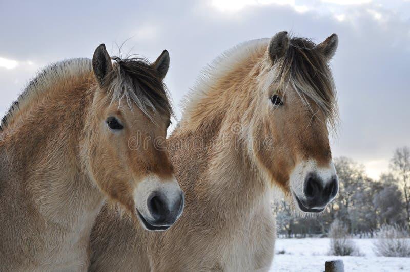 fjordhästar arkivbild
