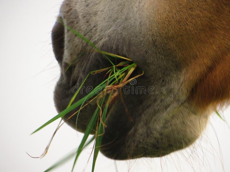 Fjordpaard royalty-vrije stock fotografie