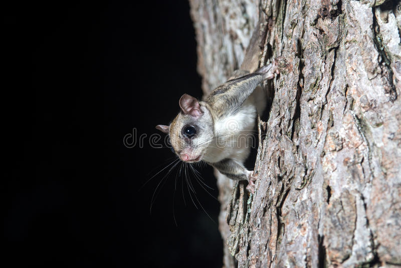 Fkying ekorre på ett träd arkivbilder