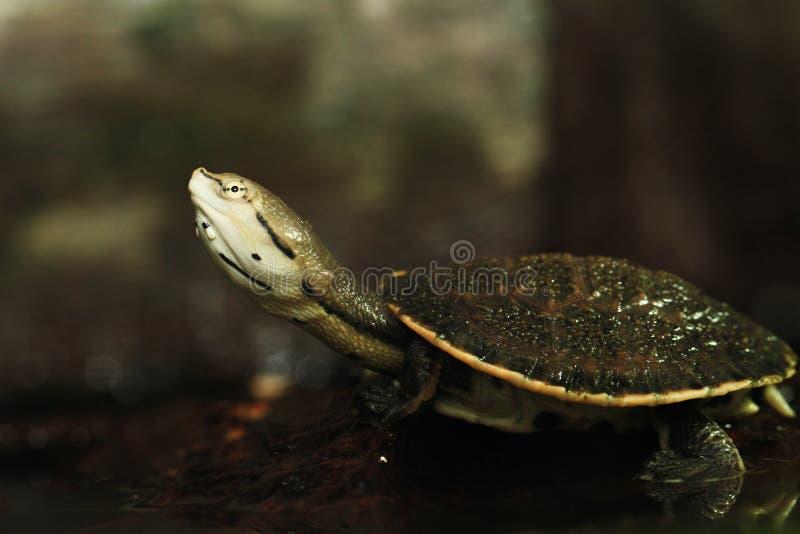 Fläck-buktad sida-hånglad sköldpadda arkivfoto