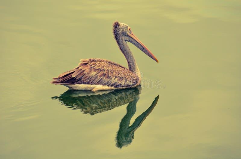 Fläck-fakturerad pelikan i Rekawa mangroveskog royaltyfria bilder