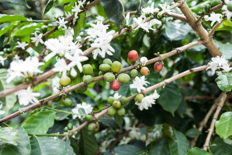 Fläckande kaffeanläggning med många kaffebönor royaltyfri bild