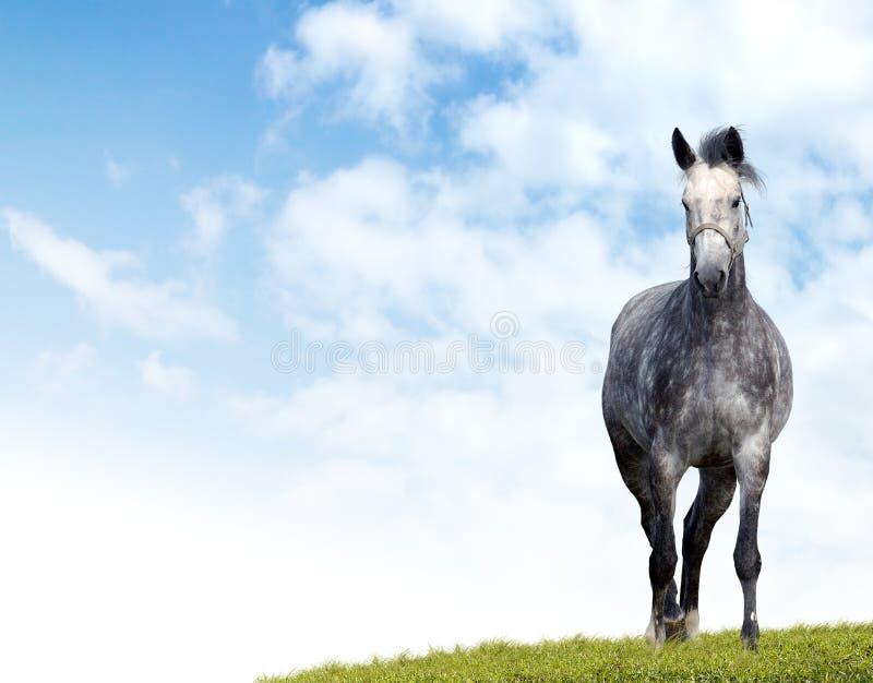 Fläckig grå häst