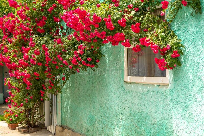 Flätad vägg för röda rosor nära fönstret Buskar för röda rosor och stupade kronblad på det jordnear gamla lantliga huset royaltyfri bild