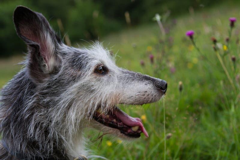 Flåsa för whippethundhuvud fotografering för bildbyråer