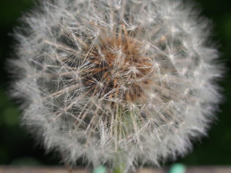 Flûte blanche des graines de dandelion Reproduction d'usines image libre de droits