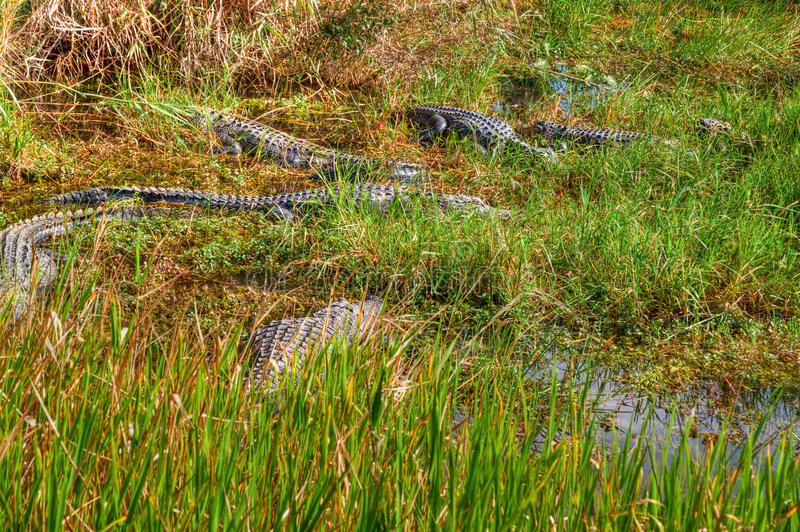 FL-Everglades National Park. Anhinga Trail- The Florida alligator loves to sun and also hide on the tall grasses, then go for a swim in the nearby watering royalty free stock images