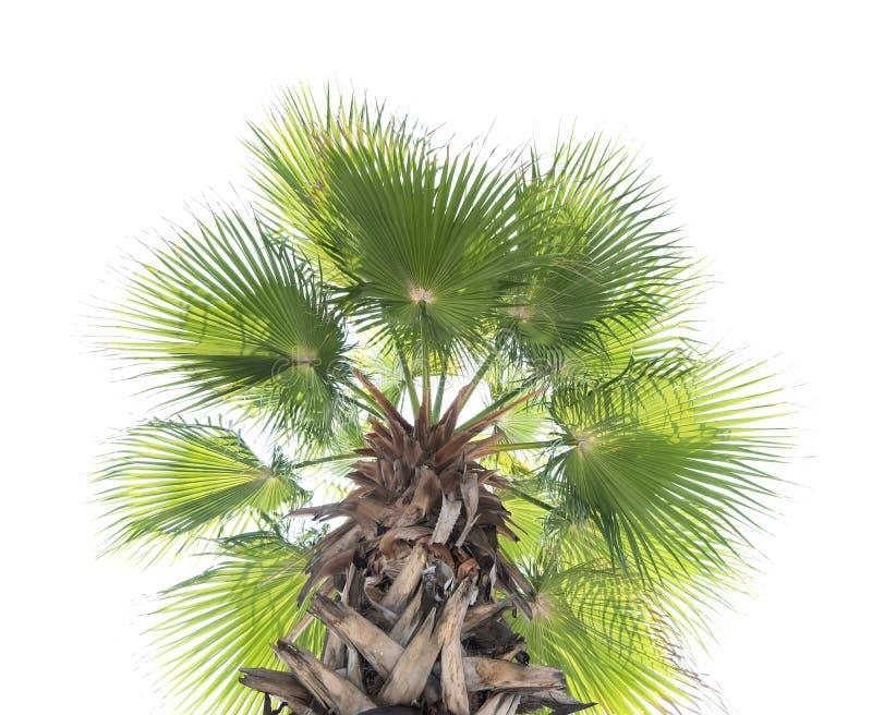 Flabellifer do Borassus, palma de açúcar, palma cambojana fotografia de stock
