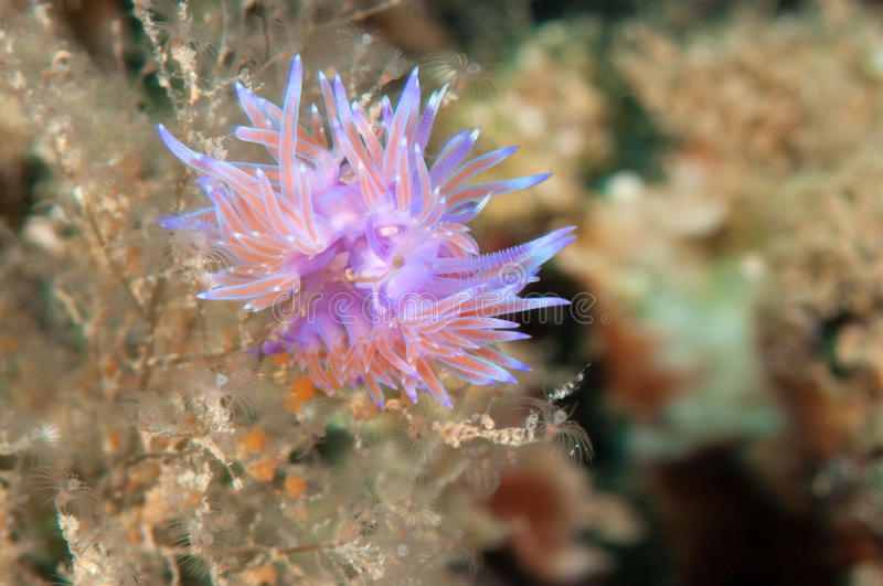 Download Flabellina stock photo. Image of mediterranean, graceful - 25967088