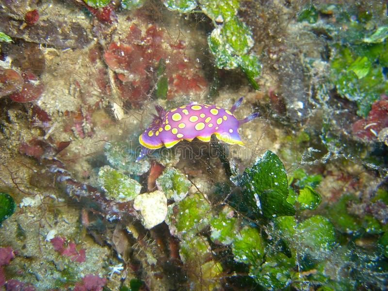 Flabellina Nudibranch Royalty Free Stock Photo