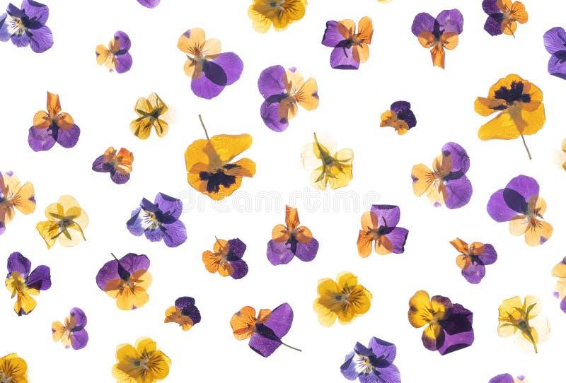 Flache gepresste Trockenblume lokalisiert auf Wei? stock abbildung