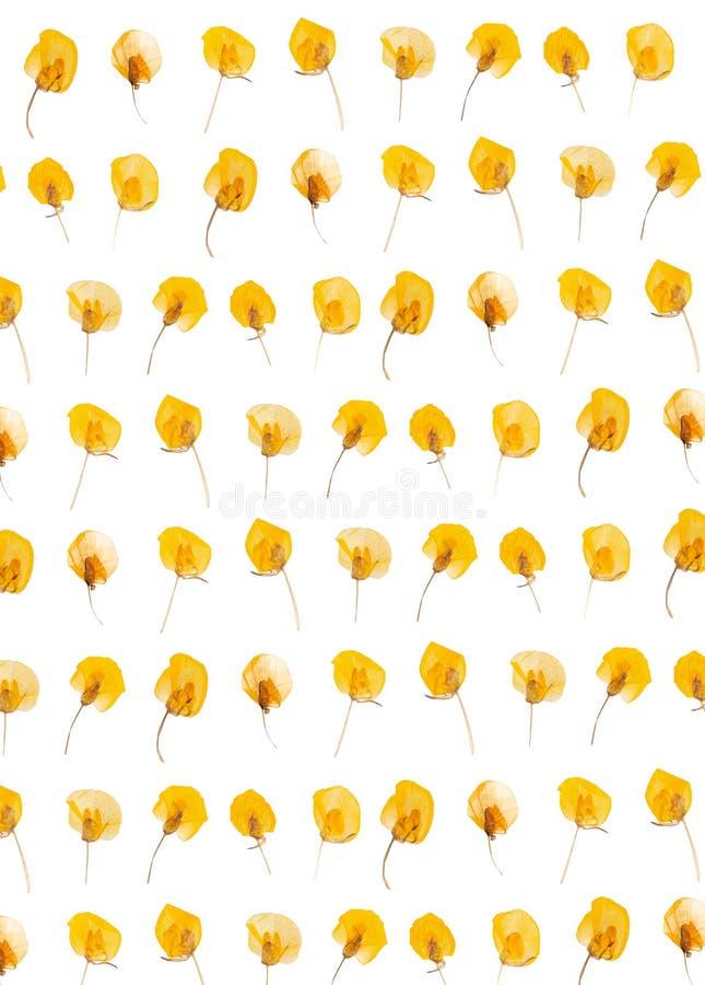 Flache gepresste Trockenblume lokalisiert auf Wei? lizenzfreie stockbilder