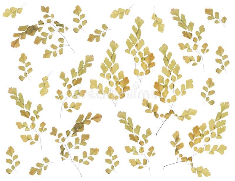Flache gepresste Trockenblume lokalisiert auf Wei? stockbild