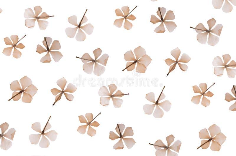Flache gepresste Trockenblume lokalisiert auf Wei? lizenzfreie stockfotografie