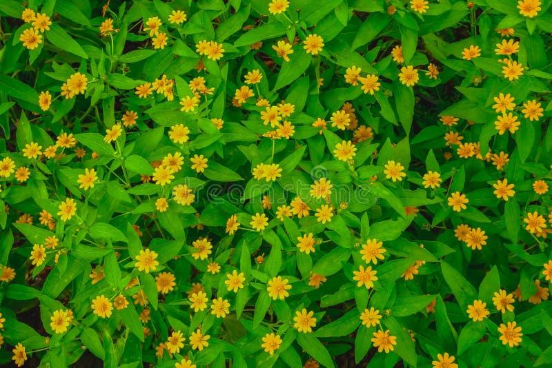 Flache Lage der Draufsicht weniger gelber Gänseblümchenblume dailsy und grüne Blätter Singapurs maserte lizenzfreie stockfotografie