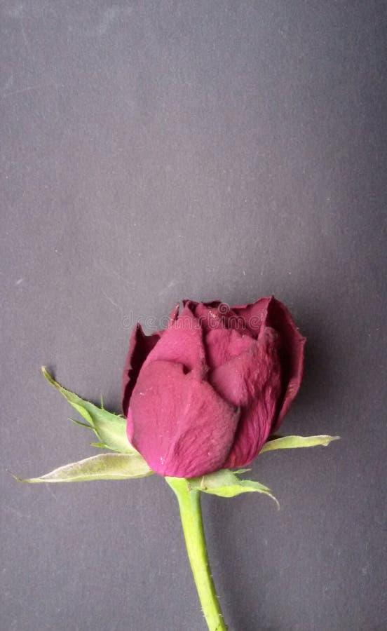 Flache Lage der getrockneten roten Rose Verwelkte Blume auf dunklem Hintergrund mit Kopienraum lizenzfreie stockbilder