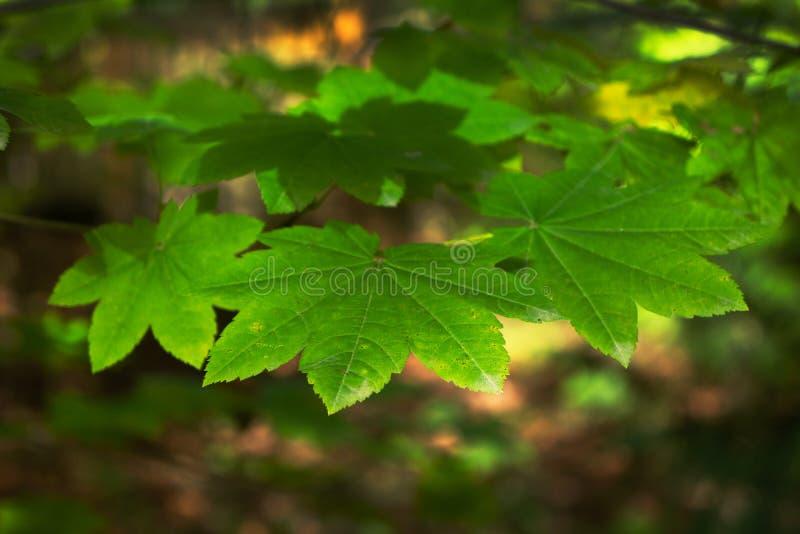 Flache Schärfentiefe Baum-Blätter im Fall-Farbwald stockbilder