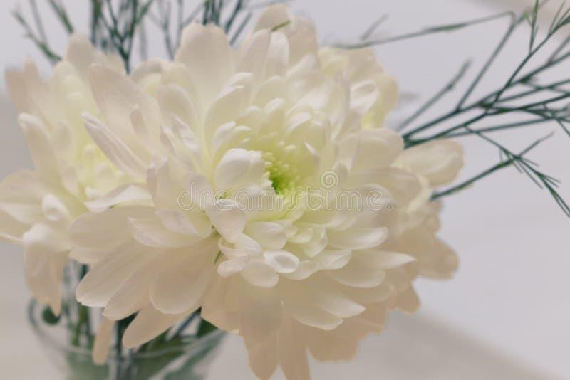 Flaches Detail der weißen Chrysanthemenblume lizenzfreies stockfoto