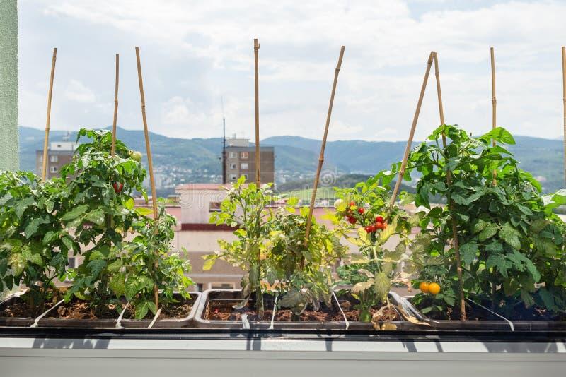 Flaches Fensterbrett der Wohnung, das Gartenarbeitkrauttomaten der Blumentöpfe pflanzt lizenzfreie stockfotos