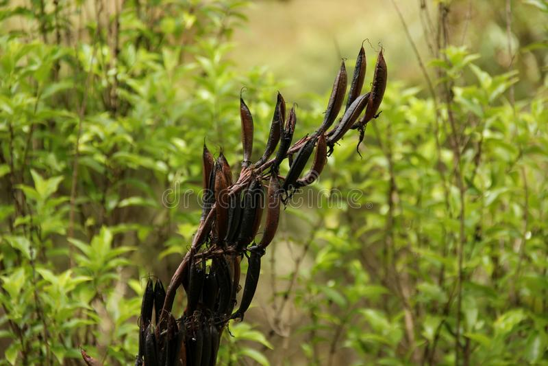Flachs Seedpods stockfotografie