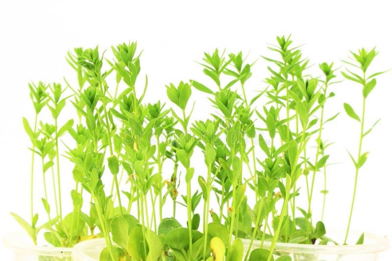 Flachssamenpflanzenahaufnahme im Reinweißhintergrund lizenzfreies stockfoto