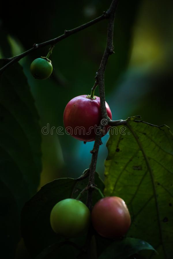 Flacourtia jangomas .ndian coffee plum. Ndian coffee plum, is a lowland and mountain rain forest tree in the Salicaceae or Willow Family.[1][2] It is widely stock image
