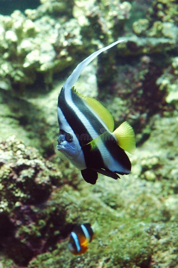 Download Flag fish stock photo. Image of nature, fishes, animal, alga - 79278