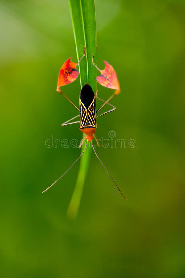 Download Flag Footed Bug stock photo. Image of green, anisocelis - 25349344
