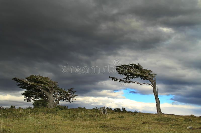 Flag trees in Patagonia, Argentina royalty free stock photos