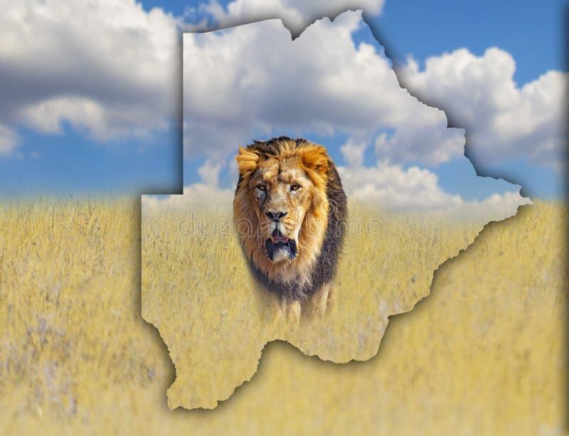 Flaggaöversikt av Botswana som är på en bild av ett lejon It& x27; s en lös djur uppehälle i Afrika Det är nationell afrika royaltyfria bilder