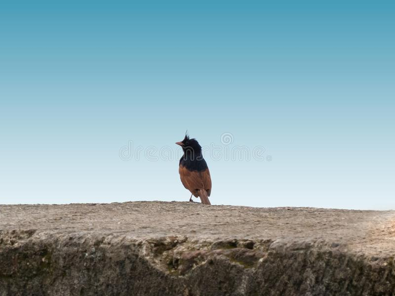 Flaggen-Vogel mit Haube auf Jaam-Tor nahe Indore lizenzfreies stockfoto