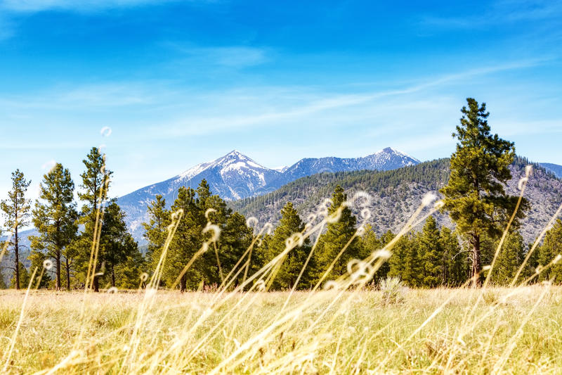 Flagstaff Field With Pines and Mountains. Tall brown grass, pine trees and snow-capped mountains in Flagstaff, Arizona park on clear blue sky day stock images