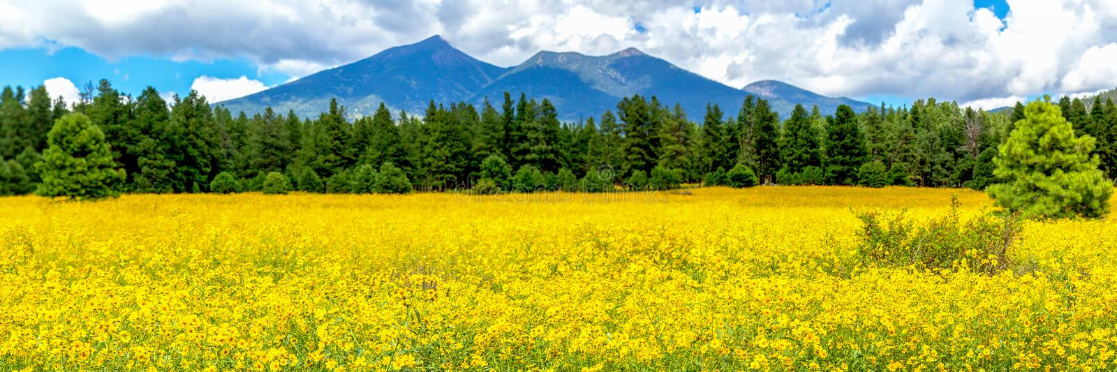 Flagstaff Flower Field Panorama royalty free stock photography
