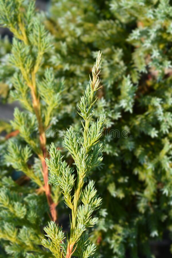 Free Flaky Juniper Blue Swede Stock Photography - 177736492