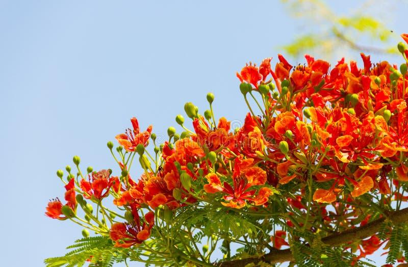 Flam boyant, дерево пламени, королевские бутоны цветка Poinciana и стоковая фотография rf