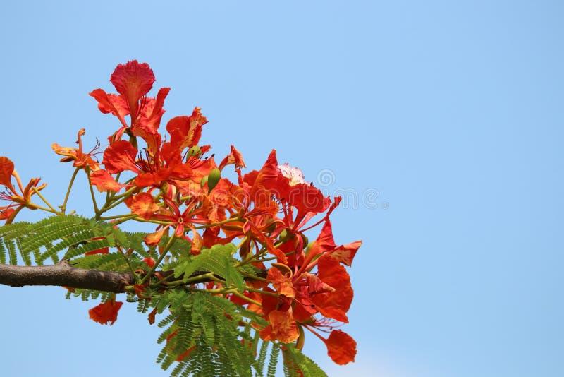 Flam-boyant, дерево пламени, королевский красный цвет лепестка Poinciana красивый стоковая фотография