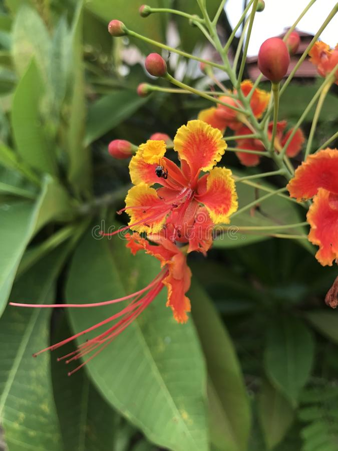 Flam-boyant или дерево пламени или королевский цветок Poinciana или павлина стоковое фото rf