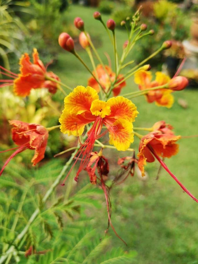 Flam-boyant, de Vlamboom, Koninklijke Poinciana royalty-vrije stock foto