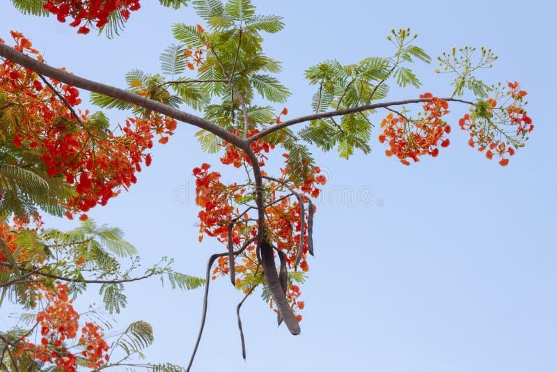 Flam-boyant, l'albero di fiamma, Poinciana reale, orgoglio delle Barbados, poinciana nano, recinto del fiore, fiore di Paradise,  fotografie stock