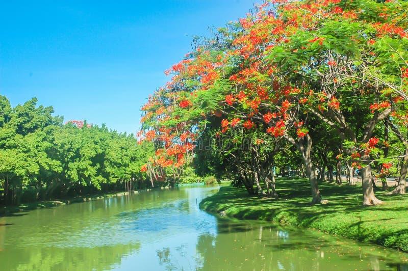 Flama boyant drzewo w ogródzie zdjęcia royalty free