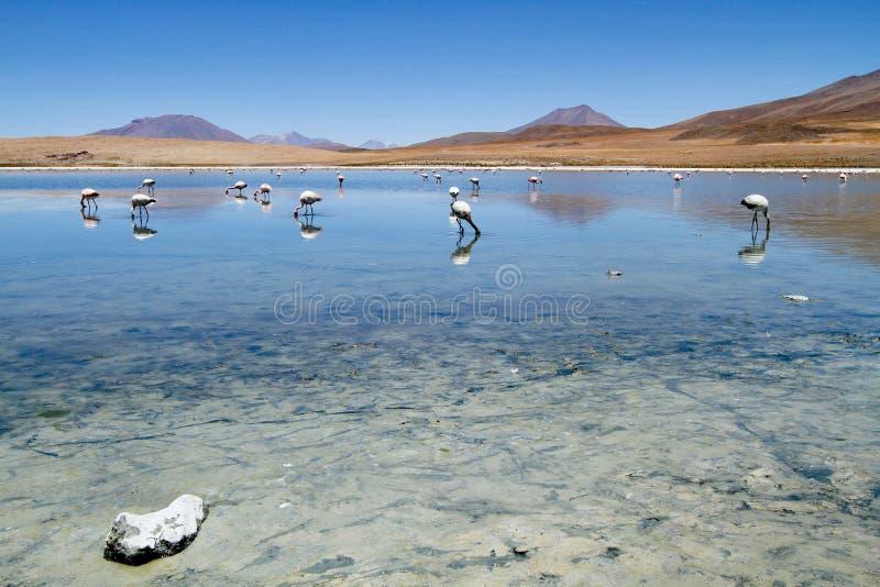 Flamant à Laguna Colorada. image libre de droits