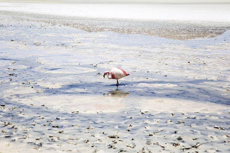 Flamant à Laguna Hedionda en Bolivie photo stock