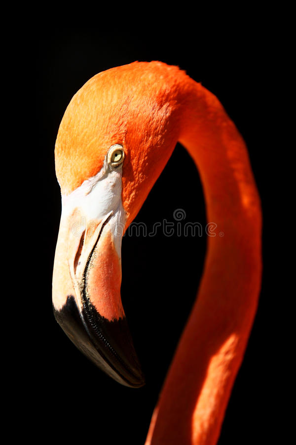 Flamant Photo stock
