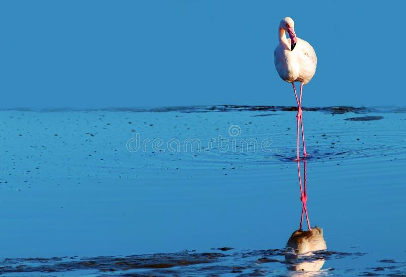 Flamant africain marchant sur le lac de sel bleu de la Namibie photo stock