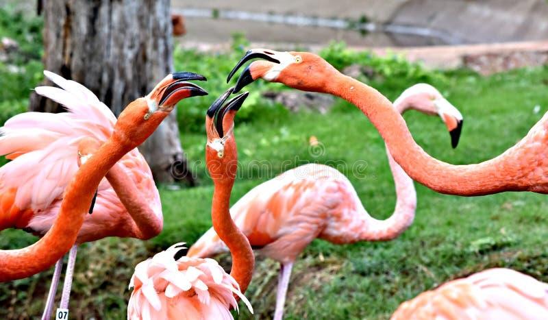 Flamant américain, plumage orange/rose, zoo de Ville d'Oklahoma et jardin botanique photos libres de droits
