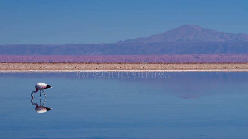 Flamant andin au circuit de refroidissement de Soncor, réserve nationale de flamenco de visibilité directe, désert d'Atacama, Chi images stock